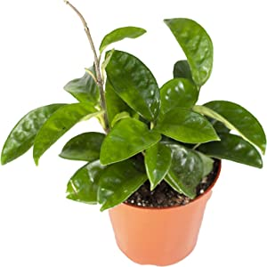 Hoya Carnosa Krinkle Wax - 4'' from California Tropicals