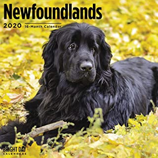 2020 Newfoundlands 16 Month 12 x 12 Wall Calendar by Bright Day Calendars