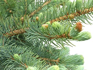 Homegrown Pine Tree Seeds, 100 Seeds, Spruce Pine Tree