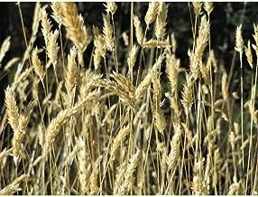150 Sweet Vernal Grass Sweet Grass Vanilla Grass Anthoxanthum Odoratum Seeds MX02