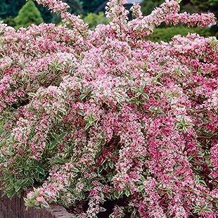 3 X WEIGELA 'FLORIDA VARIEGATA' DECIDUOUS SHRUB HARDY GARDEN PLANT IN POT