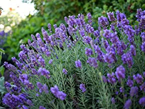 Phenomenal Blue Lavender Herb - Live Plant - Gallon Pot