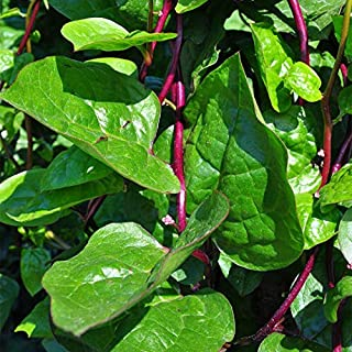 300 Red Stem Malabar Spinach Seeds Heirloom Organic Healthy Delicious Easy to Grow Edible Home Garden Farm Vegetable Seeds