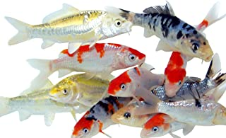 Toledo Goldfish Live Standard Fin Koi for Garden Pond, Goldfish Aquarium or Tank – Live Standard Fin Koi – Born and Raised in The USA - Live Arrival Guarantee