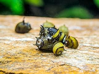 Aquatic Arts 5 Live Zebra Thorn/Horn Nerite Snails   Nano Aquarium Tank Snail   Great with Dwarf Shrimp/Aquarium Plants/Freshwater Fish