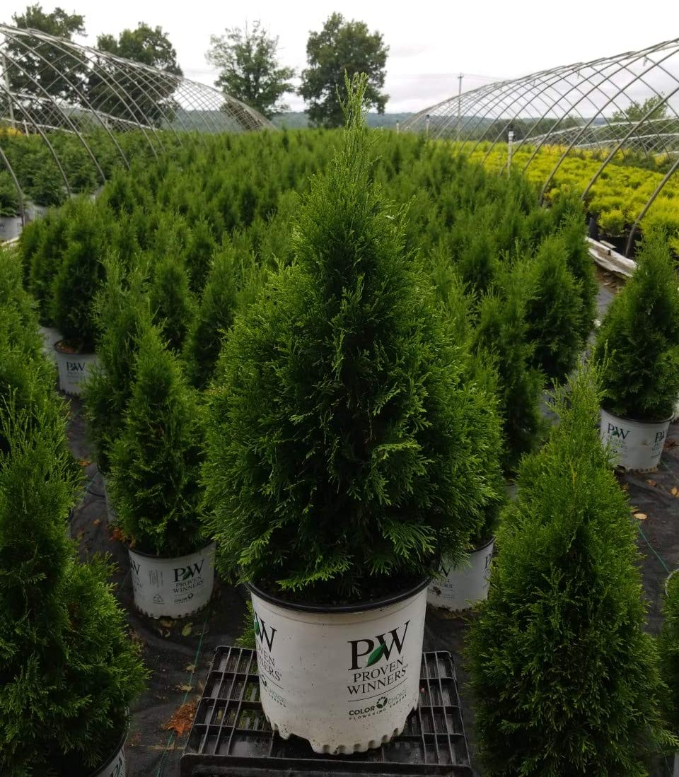 New Free Shipping Live plant from Green Promise Po 'North Farms occidentalis Thuja SEAL limited product