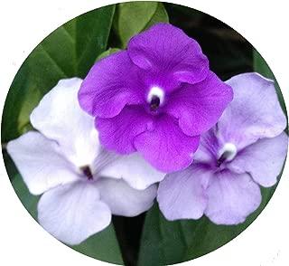 Brunfelsia pauciflora Floribunda Yesterday Today Tomorrow Seeds Dwarf Plant