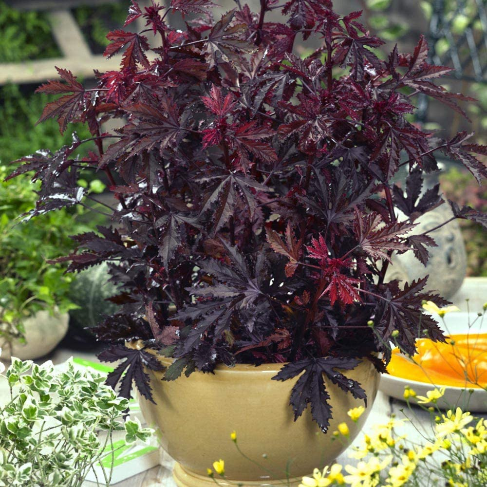 Limited Special Price Outsidepride Hibiscus Acetosella Mahogany Splendor Seeds Flower Selling and selling