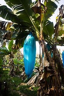 plátano azul - Musa itinerans (plátano de Yunnan) - 10 semillas -Duro de hielo: hasta -20 C °!