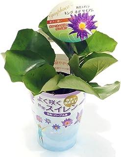 (株) 赤塚植物園 ② 熱帯スイレン 4号苗 キング・オブ・サイアム