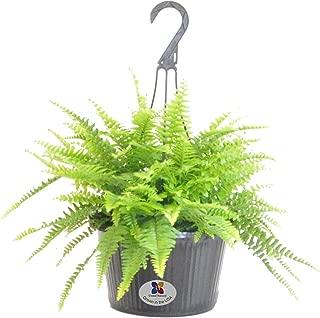 United Nursery Boston Fern Live Indoor Outdoor Plant Hanging Basket 22-25
