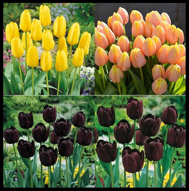 Boston Mall Purifying air Tulips symbolize Eternal Tu Regular discount Love and Noble Elegant