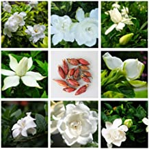 SimingD Gardenia Seeds, Peony Gardenia Flower Seeds,Perennial Ornamental Seeds All Seasons Easy to Live and Flower 20pcs