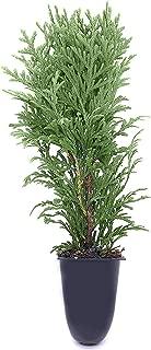 Best arborvitae fern plant Reviews