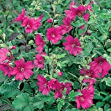 1 X LAVATERA 'Burgundy Wine' Tree Mallow SEMI-Evergreen Shrub Hardy Plant in Pot