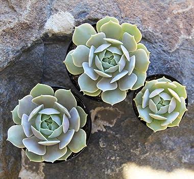 """Altman Plants, Echeveria Succulents Live Plants (8 Pack) Assorted 2.5"""" Potted Succulents Plants Live House Plants in Cact"""