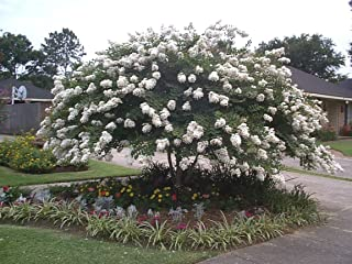 Acoma White Crape Myrtle Tree - Live Plant Shipped 1 to 2 Feet Tall by DAS Farms (No California)