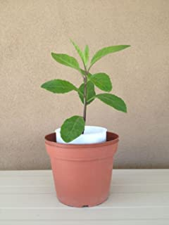 Gynura Procumbens, Longevity Spinach