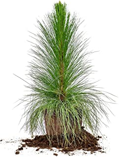 LONGLEAF Pine - Size: 3 Gallon, Live Plant, Includes Special Blend Fertilizer & Planting Guide