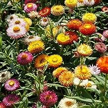 HOT - STRAWFLOWER Dwarf - Tom Thumb Mix - 800 Seeds - Helichrysum bracteatum - Flower