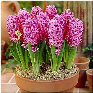 SANHOC Seeds Package: GARTHWAITE NURSERIES: - 6 Prred Indoor s Pink Pearl Highly Fragrant Size 18/19 Large SEEDsSEED