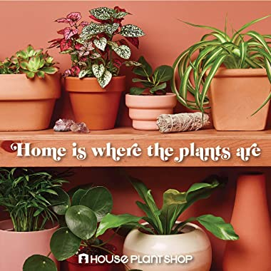 "HOUSE PLANT SHOP | Schefflera Arboricola 'Umbrella Plant' - 4"" Pot | Live Indoor Plant | Free Care Guide"