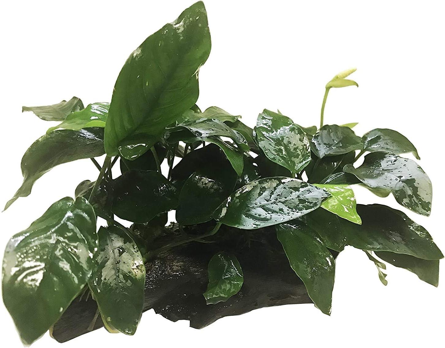 Greenpro Anubias Java Fern Moss and Freshwater More Aqua free Superlatite Live