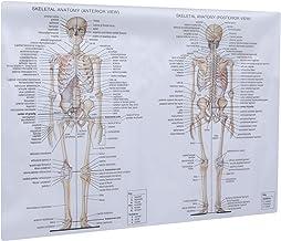 Pôster de anatomia humana com sistema esquelético ULTECHVO com quadro anatômico e esqueleto muscular, pintura nervosa, ens...
