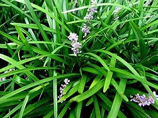 50 Monkey Grass Plants Liriope Bare Root Plants Evergreen Border Plants