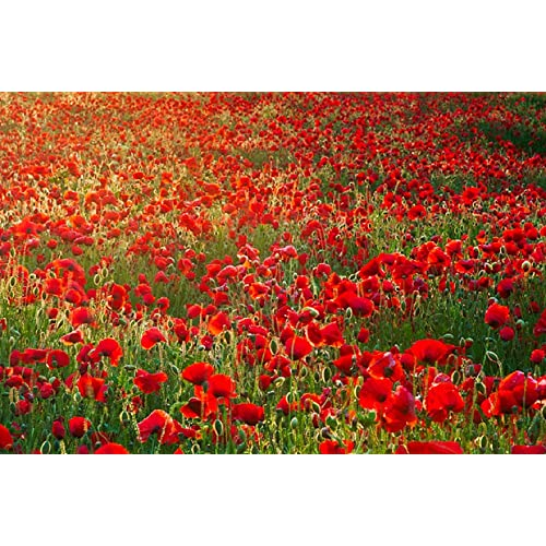 Poppy Seeds to Grow: Amazon co uk