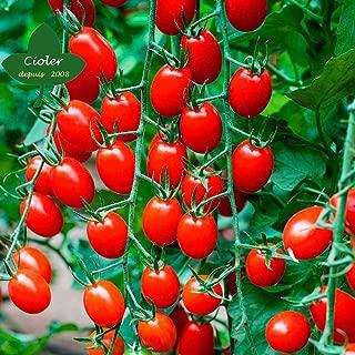 CIOLER Seed House - 50pcs Raras Tomate Tomate Cherry Amarillo rojo (Semillas Ecológicas) Semillas Huerto Planta Jardinería Semillas de verduras perennes resistentes
