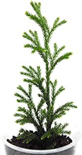 Live Tree Clubmoss (Princess Pine) Plants For Fairy Garden, Terrarium, Garden