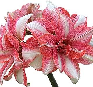 Amaryllis Barbados Lily Bulbs Hippeastrum Bulbs(2 Bulb) Hot Flowers Yard Garden Plants Home Balcony Bonsai(Pink)