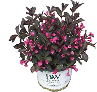 Premier Plant Solutions 10815 Proven Winners Weigela Wine and Roses Flowering Shrub, 3 Gallon