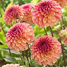Dahlia Tubers - WINE EYED JILL - Easy to Grow - Dinner Plate Booms - 2 tubers