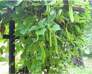 Semillas de frijol alado Bonsai Semillas de guisantes de espárragos asiáticos frescos Bonsai Alta germinación Vegetales deliciosos orgánicos