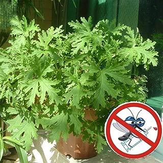 Lioder Citronella Plant Seeds Mozzie Buster Sweet Grass Mosquito Repellent Geranium Fragrance Lemon Geranium Seeds for Home Garden (50Pcs)