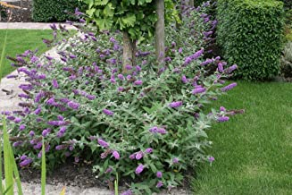 Lo & Behold Buddleia x Lilac Chip PPAF Butterfly Bush-4