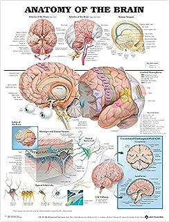 Human Brain Anatomical Poster, Physiology Chart of Brain,Silk,Large Size: 24