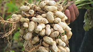 Peanut Seeds -Red Peanut Plant Organic Non-GMO Vegetable Seeds for Planting-Delicious,High Yielding-Arachis hypogaea 20 Seeds