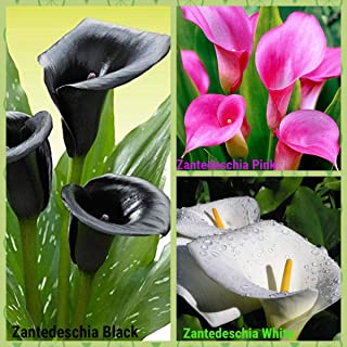 Zantedeschia Calla Lily Trio of Colours – Black, Pink, White Flower Sowing Pack Bloom Time Summers 2020 Superb Flowers in Your Garden by Kraft Seeds (Set of 3) (Pack of 1)