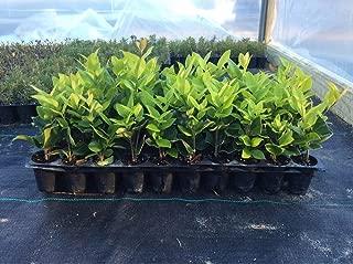 Ligustrum Japonicum 'Howardi' Qty 40 Live Plants Evergreen Privacy Hedge Yellow Tip