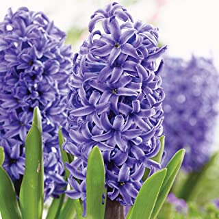 Burpee Pearl Hyacinth   5 Large Flowering Fall Bulbs for Planting, Blue