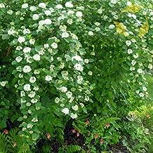 NINEBARK Physocarpus Opulifolius Darts Gold - 50 Seeds.