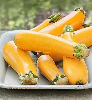 Cicitar Garden- 10pcs Rare Squash Easy Pick Gold Zucchini Prolific, Organic Vegetable Seeds Exotic Hardy Perennial Garden