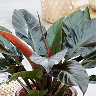 Red Leaf Philodendron aka Philodendron erubescens Live Plant Fit 5 GAL Pot