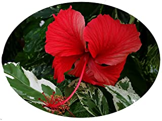 Snow Queen Tropical Hibiscus Live Plant Variegated Green White Leaves and Single Red Flowers Starter Size 4 Inch Pot Emeralds TM