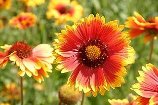 plant indian blanket flower seeds