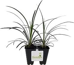 Sandys Nursery Online Black Mondo Grass, Ophiopogon Planiscapus, Lot of 2, Starter Plants