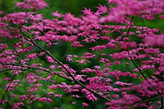 Best variegated japanese maple tree Reviews